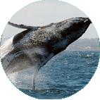 Observação das Baleias Jubarte
